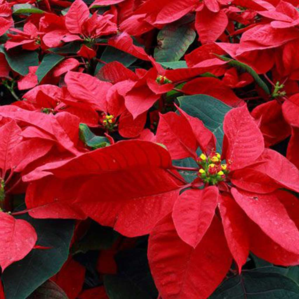 Christmas Poinsettia Orders